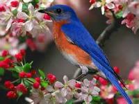 top-Blue-bird-5-7-15-200x150